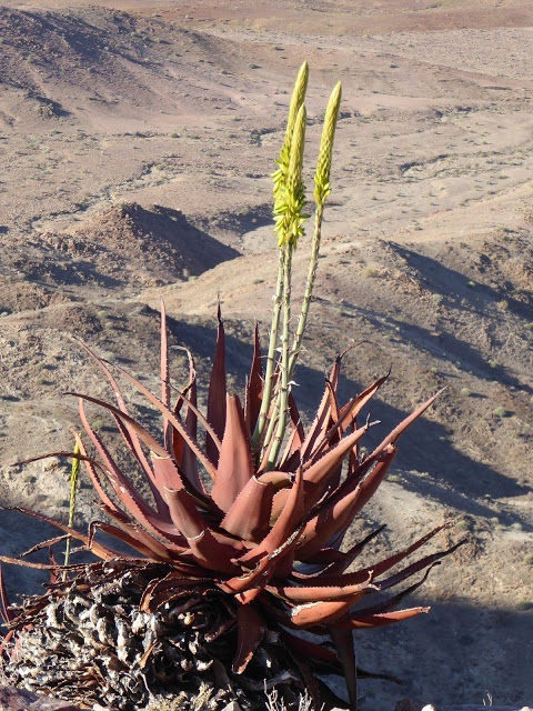 Aloe Fish River Canyon