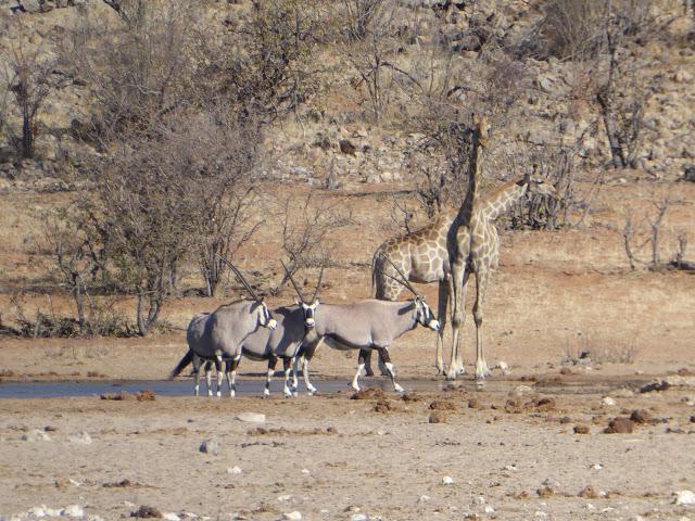 Oryx Giraffen