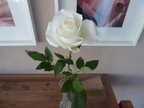 weisse Rose